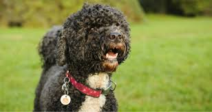 Portuguese Water Dog Non Shedding by Dogs That Shed The Least Top 10 Breeds Petcoach