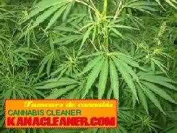 cours pour cultiver le cannabis en outdoor les effets du