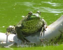 100 King Of The Frogs Of The Frogs Imgur