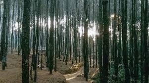 5 Lokasi Hutan Pinus Di Jogja Yang Kecenya Gebangetan
