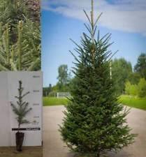 Christmas Tree Saplings Ireland by Christmas Tree Plants Ebay