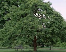 For A Tree With Interesting Bark Plant The Paperbark Maple Growing Tips