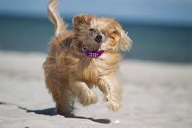 Shed Free Dogs Pictures by Chinese Crested Dog Breed Information Pictures Characteristics
