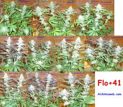 fin de floraison cannabis exterieur fin de floraison cannabis exterieur farqna