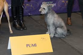 Irish Wolfhound Non Shedding by Dog Show Tails Who U0027s New In The Ring This Year Petcoach