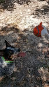 Blue Heeler Lab Mix Shedding by Washington Oregon Available Dogs Western Australian Shepherd Rescue