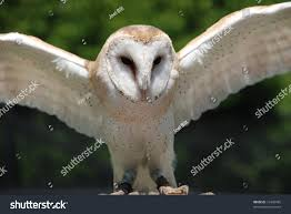 Barn Owl Taking Flight Stock Photo 16460485 - Shutterstock Flying Eurasian Eagle Owl Colorfull Winter Stock Photo 304031924 Barn Facts Pictures Diet Breeding Habitat Behaviour Best 25 Owl Sounds Ideas On Pinterest Owls Beautiful Wowzers Blog Centre Gloucester Wikipedia 10 Fascating About Bckling Estate A Barn Owls Home National Trust Birds Of Prey Shavers Creek Raptor Center Kohrphotos The Barn Owl Wallpapersbirds Unique Nature Hd Wallpapers