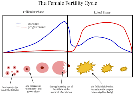 Shedding Of Uterine Lining Before Period by Everything To Know About Ovulation Blog My Baby U0027s Heartbeat Bear
