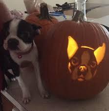 Boston Terrier Pumpkin Pattern by Boston Terrier Halloween Pumpkins Share Your Work