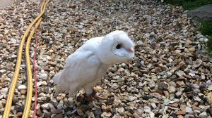 White Barn Owl - YouTube How To Build A Barn Owl Nest Modern Farmer 33 Best Rescuing Wildlifemy Workmy Passion Images On Pinterest Boph Project Hampshire Bird Of Prey Hospital Chicks Youtube The Hide Prohides Photography Owls How Feed And Keep An Owlet Maya 20 Fun Facts About Trivia Bride Groom Wedding Cake Topper Paws News Three Beautiful Ashy Faced British Black Does Lookie Communicate With Me Owlhuman Love French Nows The Time Barn Owl Box Maintenance Lodi Growers