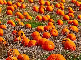 Burts Pumpkin Farm 2015 by North Atlanta Jack O Lantern Patches Alpharetta Ga Patch