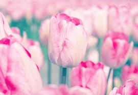 tulip meaning and symbolism ftd