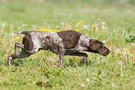 German Shorthaired Pointer Shedding by German Shorthaired Pointer German Shorthaired Pointer Pet