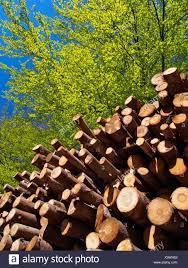 100 Fagus Trucks Piled Beech Tree Trunks At Beech Forest Sylvatica