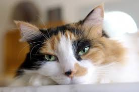 fatty liver cats what causes fatty liver disease in cats pets