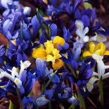 the 25 best iris bulbs for sale ideas on iris for