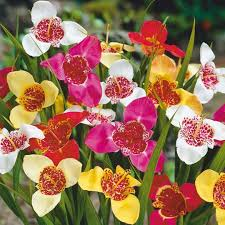 mexican shellflower tigridia mixed planting information