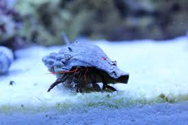Halloween Hermit Crab by Saltwater Hermit Crabs Hd Wallpaper Animals Wallpapers