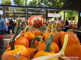 Pumpkin Patch Pasadena Area by Live Oak Canyon Pumpkin Patch Iamnotastalker