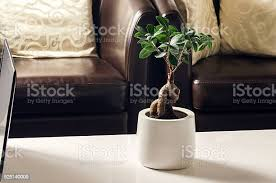 bonsai feige ginseng im wohnzimmer stockfoto und mehr bilder baum