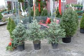 Christmas Tree Species For by O Living Christmas Tree U201d Important Tips For Your Live Christmas