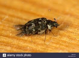 Carpet Weevil Pictures by Varied Carpet Beetle Anthrenus Verbasci Stock Photo