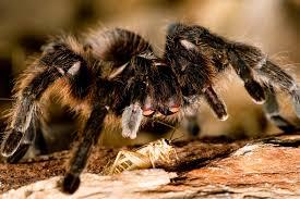 Do Tarantulas Shed Their Fangs missouri tarantula mdc discover nature