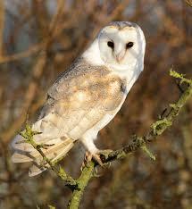 Barn Owl Centre On Twitter: