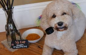 Using Pumpkin For Diarrhea In Dogs by Homemade Pumpkin Flea Prevention Dog Treats Have Surprising Bonus