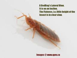 What do Bed Bugs Look Like See it in Pest Control of