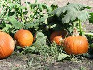 Pumpkin Patch Fort Worth Tx by Huge List Of Pumpkin Patches In The Dfw Area Dallas U0026 Fort