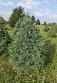 Christmas Tree Species Usa by Types Of Christmas Trees Christmas Tree Species At Middleburg Farm
