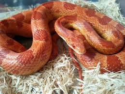 Corn Snake Shedding Time by Sunkissed Amel Corn Snake Hounslow Middlesex Pets4homes