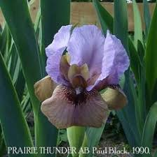 buy st s day reblooming iris at michigan bulb iris