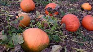Keep My Pumpkin From Rotting by How Are Pumpkins Grown Visit The Biggest Pumpkin Patch The