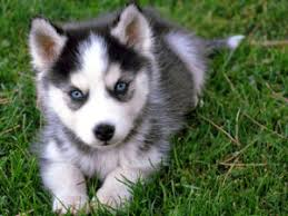do huskies or malamutes shed more lovely affenpinscher kijiji it s a thing