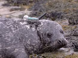 Harbour Seal Populations In Scotland Have Been Decline With The Animals Struck By A Strange