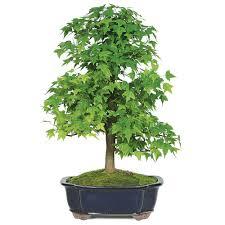 Shed Rain Umbrella Amazon by Amazon Com Brussel U0027s Trident Maple Forest 7 Tree Bonsai X Large