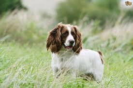 List Of Non Shedding Big Dogs by Low Shedding Large Dog Breeds Dog Breeds
