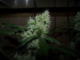 Strain Gallery Northern Light Blue Delicious Seeds PIC