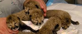 Cincinnati Zoo Halloween by Video Of The Week Cincinnati Zoo Debuts Adorable Newborn