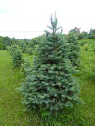 Types Christmas Trees Most Fragrant by Tree Varieties Kenburn Orchards