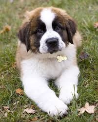 st berdoodle st bernard standard poodle mix info and pictures