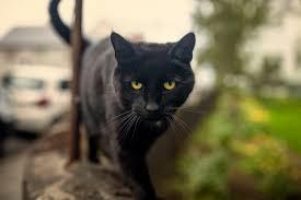 bombay cats the bombay cat breed profile
