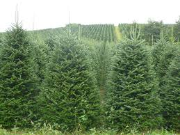 Fraser Fir Christmas Trees North Carolina by Coastal Evergreen Trees North Carolina Fraser Firs