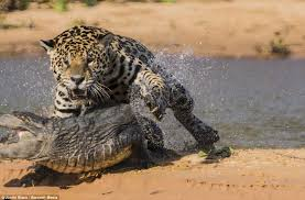 Jaguar vs Crocodile  Epic Wildlife News s & Videos