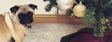 Are Christmas Trees Poisonous To Dogs Uk by Poison U0027s Lurking In Your Pet U0027s Christmas Treat Severn Edge Vets