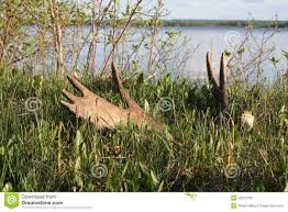 Bull Moose Shedding Antlers by Moose Antler Shed Stock Photo Image 15612450