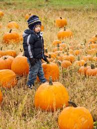 Denver Pumpkin Patch by Little Kid Picking Pumpkind At Pumpkin Patch In Aearly Autumn