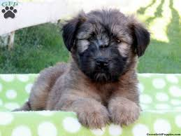 soft coated wheaten terrier non shedding great family dogs